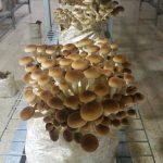 Alpacas de seta de chopo agrocybe aegerita cultivo en interior