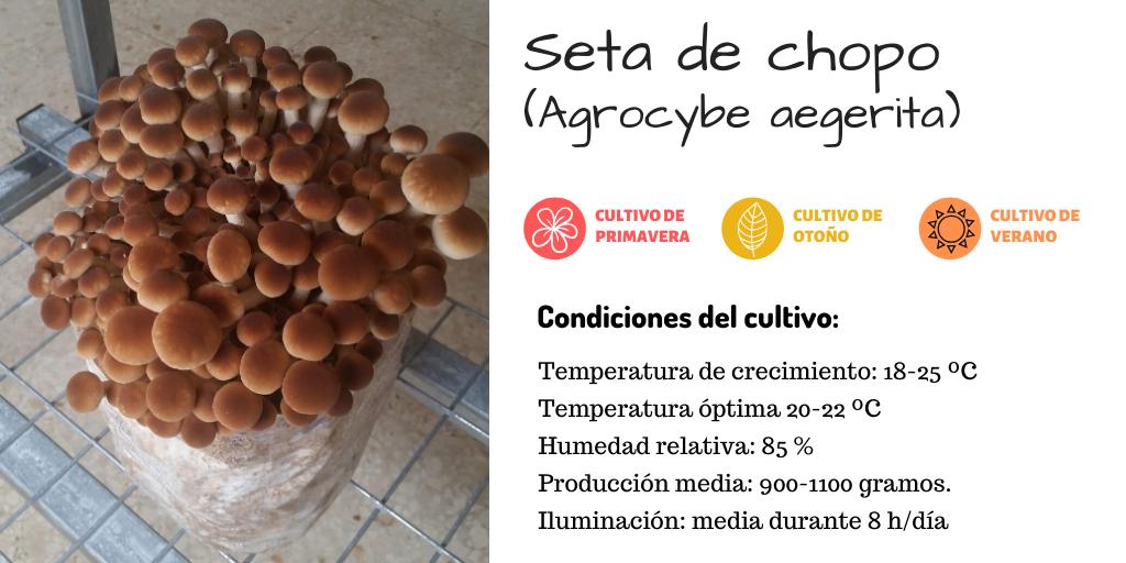 Condiciones de cultivo para la seta de chopo o agrocybe aegerita