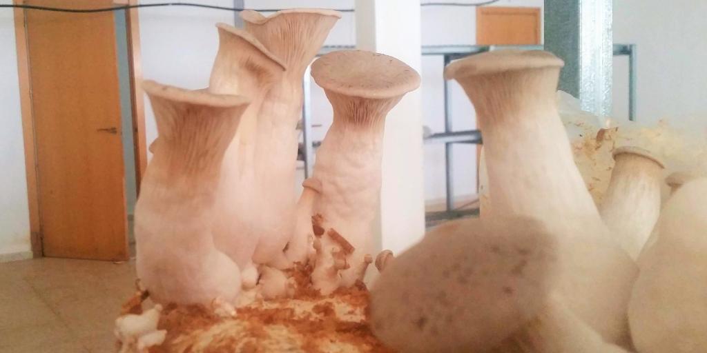 Cultivo de seta de cardo coreano boletus